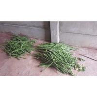 Organical Grown Drumsticks