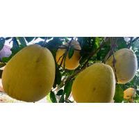 Pomelo (Gagar-nimbu or Gagar Lime)