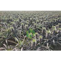 Pineapple - Ananas at cheapest price possible