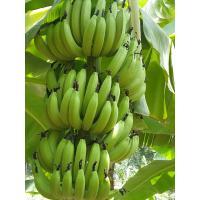 Green banana G9 variety