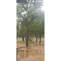 Delbezia seso(shesaam) tree