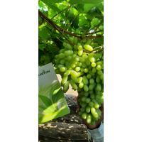Fresh Marketing Grapes