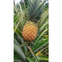 Naturally Grown Pineapples.