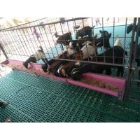 Plastic slatted floor for goat & sheep farms