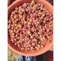 Small Onions or Sambar Onion