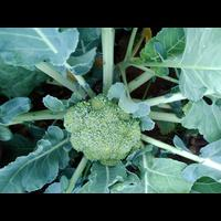 Now available broccoli