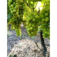 Thompson High Quality Grapes